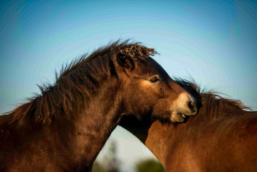 Divoké koně v NP Podyjí